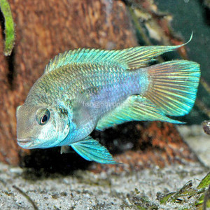 CICHLID-HONDURAN RED POINT SM