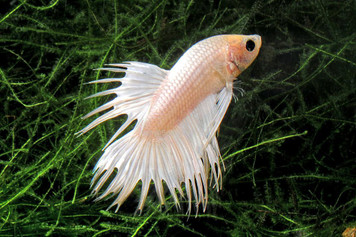 BETTA-WHITE CROWNTAIL MALE