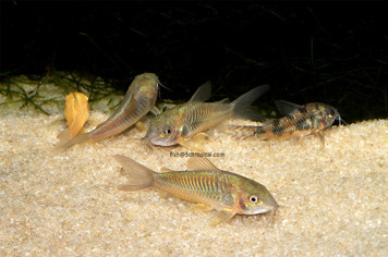 ASSORTED CORYDORAS