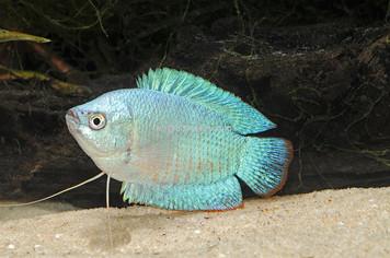 DWARF GOURAMI - POWDER BLUE - FEMALE