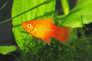SUNSET PLATY - XL