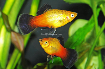 SUNSET WAG PLATY - XL