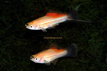 GOLD WAG SWORDTAIL