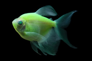 GLOFISH® TETRA - LF ELECTRIC GREEN®