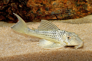 WHITE TAIL GHOST PLECO L141 - MED