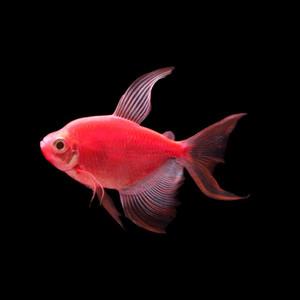 GLOFISH® TETRA - LF STARFIRE RED®