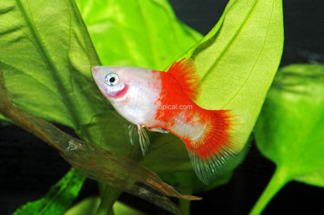 CANDY CANE PLATY