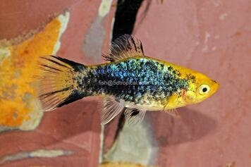 PEARL TUX TWIN BAR PLATY