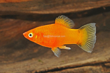 RED TWIN BAR PLATY