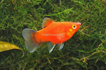 TEAPOT WAGTAIL PLATY