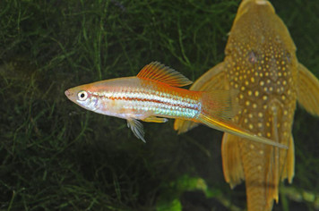 NEON SWORDTAIL