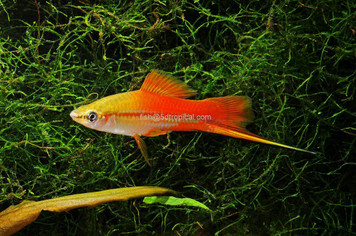 PINEAPPLE SWORDTAIL
