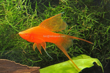VAMPIRE SWORDTAIL