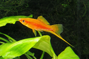 SUNSET SWORDTAIL