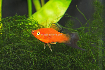 VELVET WAG SWORDTAIL