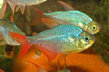 RED/BLUE COLOMBIAN TETRA