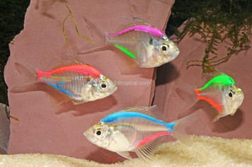 TWO-COLOR GLASS TETRA