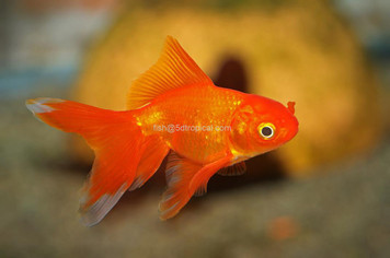 FANTAIL - RED - 5-6cm