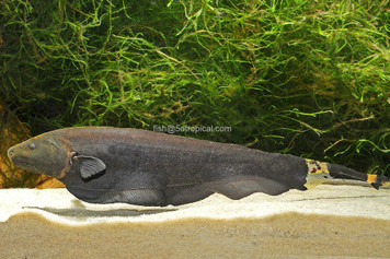 KNIFEFISH - BLACK GHOST - MED