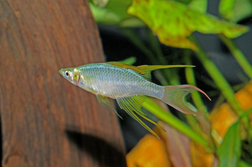 RAINBOW-FEATHERFIN