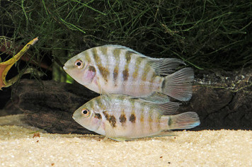 CICHLID-CONVICT BLACK