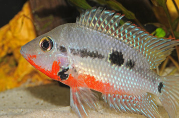 CICHLID-FIREMOUTH MD