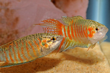 PARADISE FISH - RED