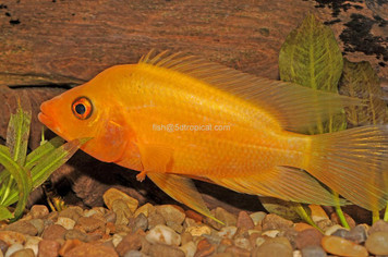 CICHLID-RED DEVIL 3-4""