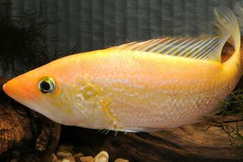 "CICHLID-SNOOK 4"" (FARM RAISED)"