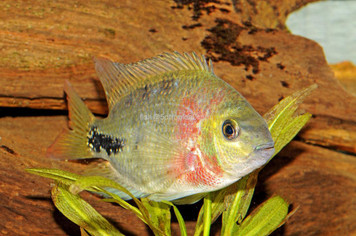 "CICHLID-SYNSPILUM 3"" (RED HEADED CICHLID)"
