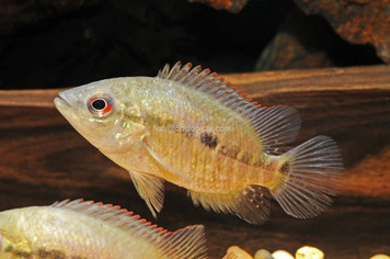 CICHLID-UMBRIFERUM SM