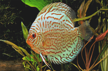 RED TURQUOISE DISCUS - 4""