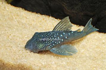 BLUE PHANTOM - L128
