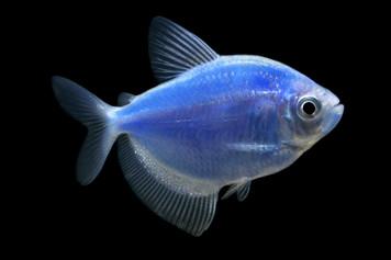 GLOFISH® TETRA - COSMIC BLUE®