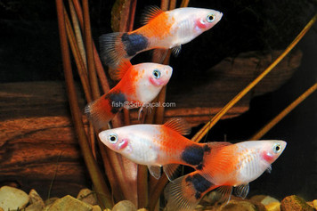 CANDY CANE M/M PLATY
