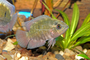 CICHLID-CHOCOLATE REG