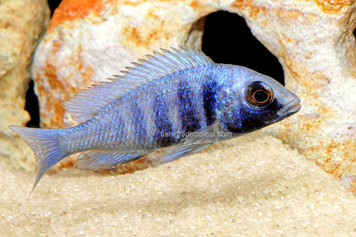 AFRICAN HAPS-P. PHENOCHILUS MALE MD