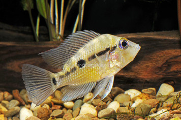 CICHLID-FIREMOUTH LEMON SM