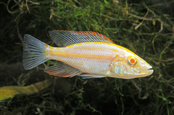 AFRICAN-HAPS COMPRESSICEPS ALBINO MD