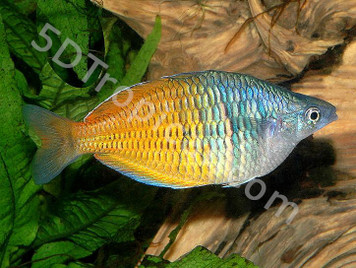 BOESEMANI RAINBOW - MED MALE