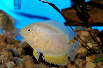 CICHLID-SEVERUM GOLD SELECT