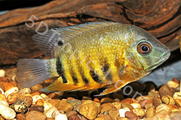 CICHLID-SEVERUM ORANGE SHOULDER REG