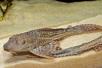 COMMON PLECO - 4""