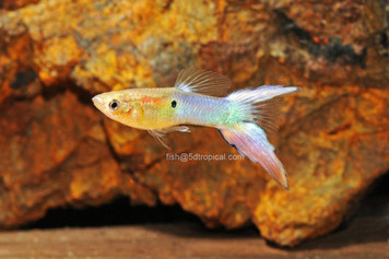 TURQUOISE L/T MALE