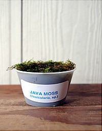 JAVA MOSS - 4OZ IN CUP