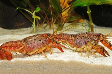 CRAYFISH - ASST FLORIDA