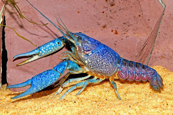 CRAYFISH - ELECTRIC BLUE