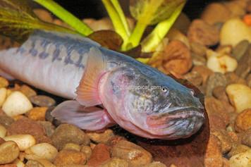 GOBY - DRAGON FISH