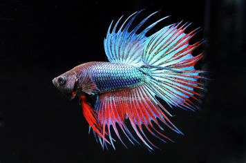 BETTA-CROWNTAIL MALE W/CUP