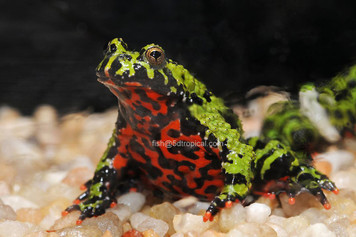 AMPHIBIAN-TOAD FIRE BELLY